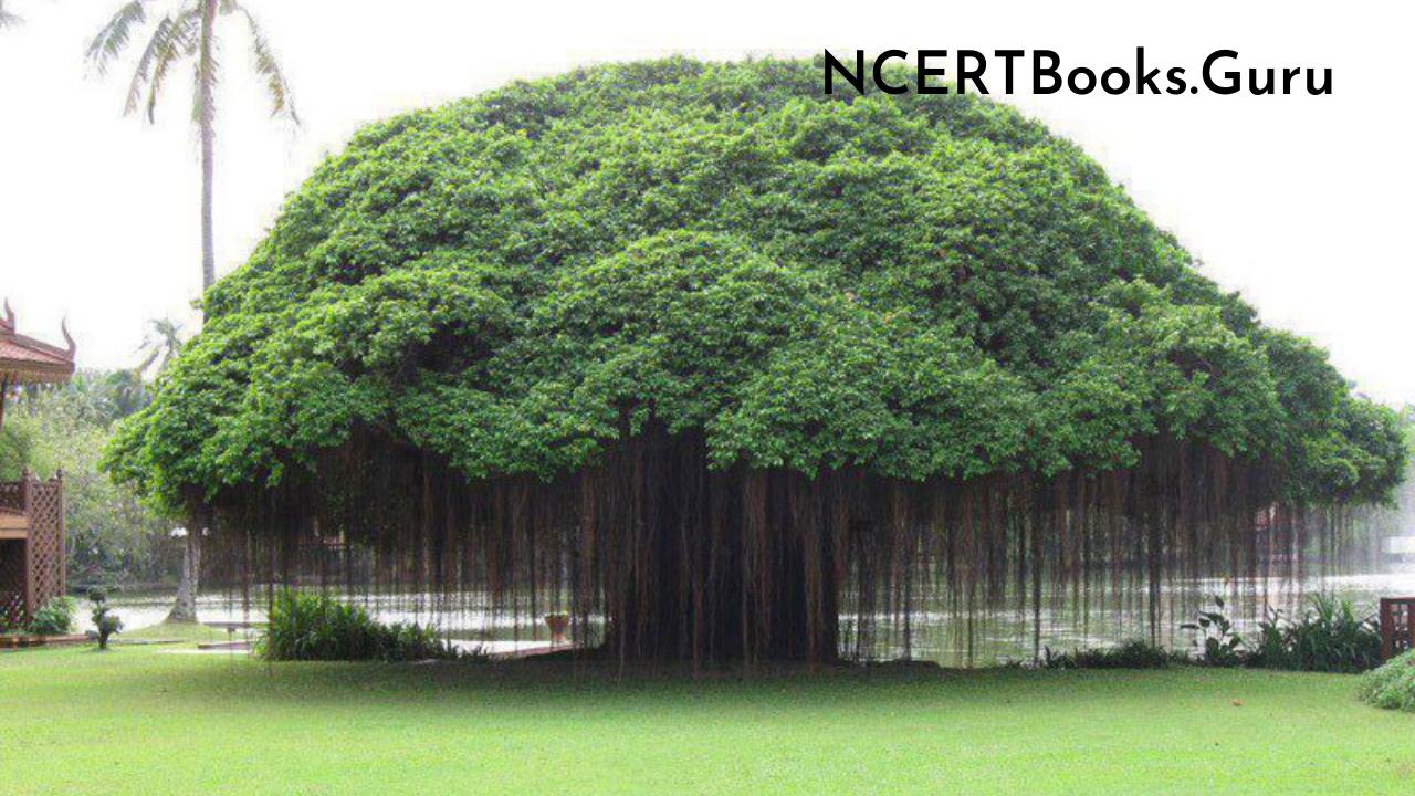 Long Essay on Banyan Tree